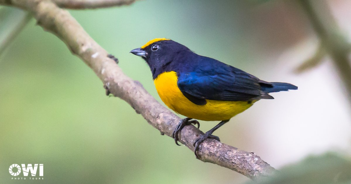 Euphonia xanthogaster