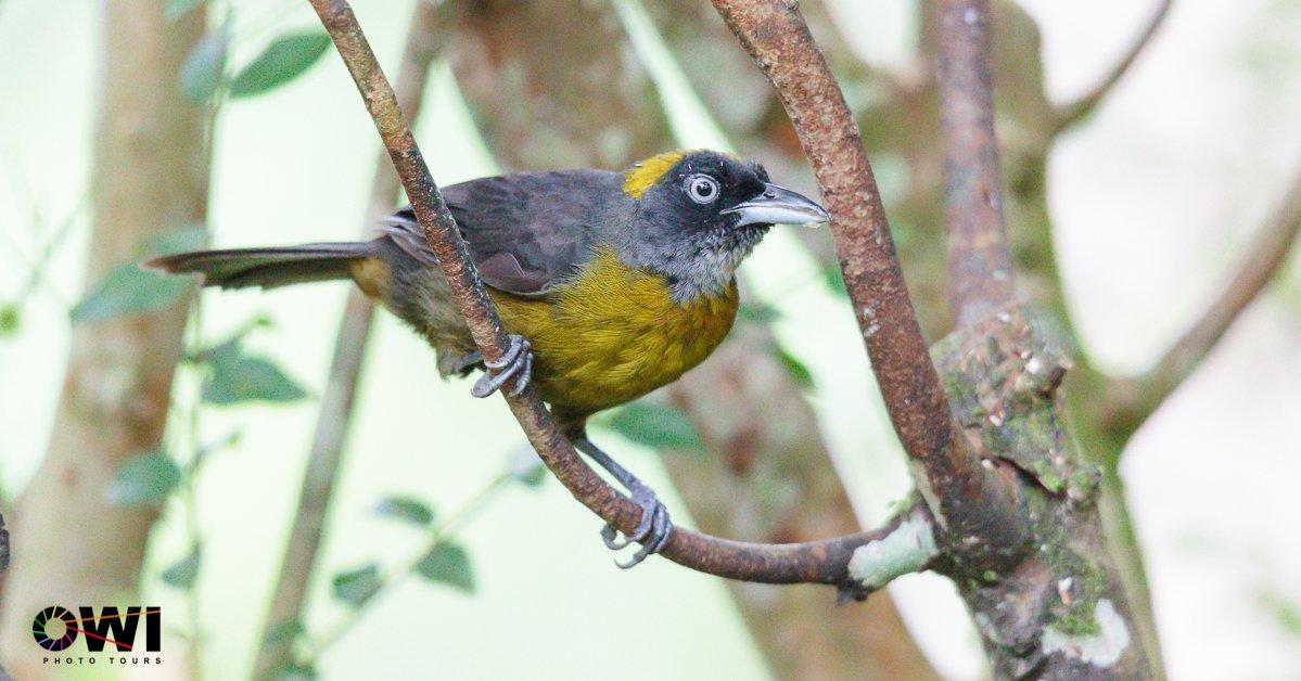 Mitrospingus cassinii