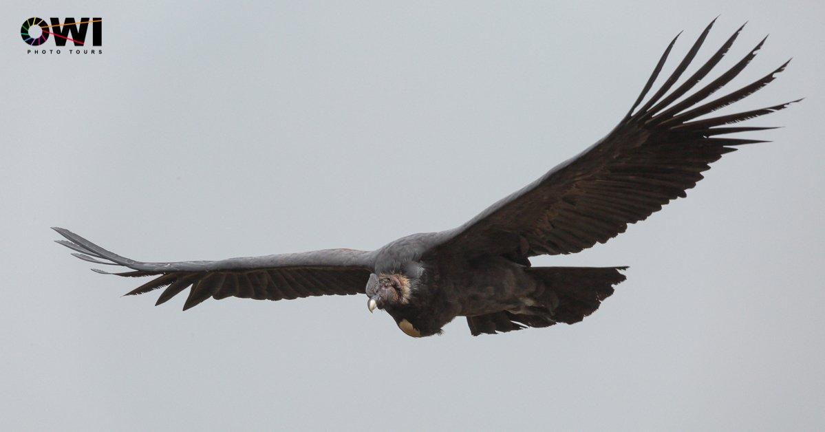 Vultur gryphus